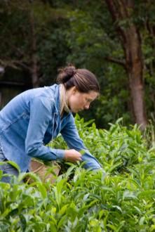 Harvesting Green Tea
