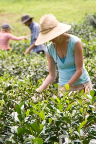 Harvesting Hawaiian Tea