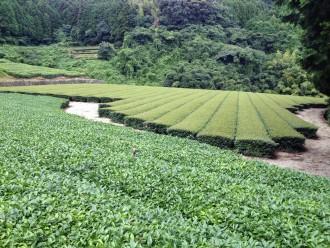 Kagoshima Tea Farm