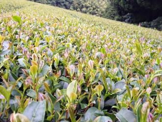 Kagoshima Tea Plants