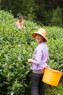 Picking Hawaiian Green Tea