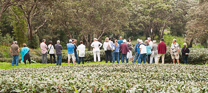 Hawaii Tea Farm Tour