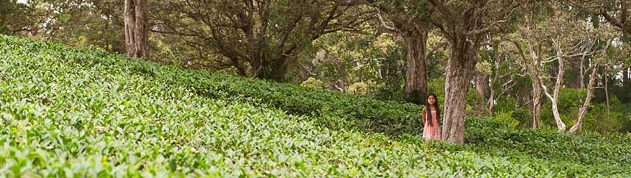Organic Hawaiian Tea Farm