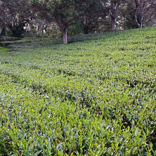 Organic Premium Green Tea from Hawaii